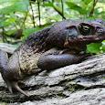 Invasive Species of Australia
