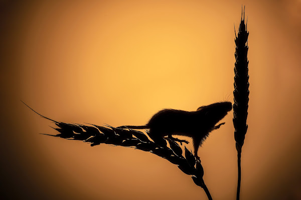 Harvest Sunset di Darwin