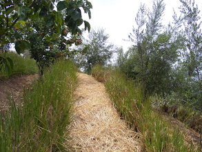 Photo: Detail of vetiver hedges on contour between subtropical fruit tree rows. Vetiver is trimmed twice yearly to control size and provide mulch.