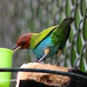 Tángara cabecirroja - Bay-headed tanager