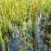 American Bugleweed