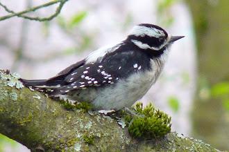 Photo: Female Downy Woodpecker