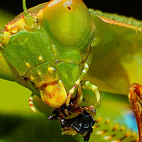 A mantis meal by Aram Becker - Animals Insects & Spiders ( macro, wasp, praying, eat, mantis, close-up, meal, eyes )