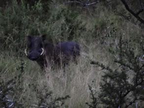 Photo: Wart hog