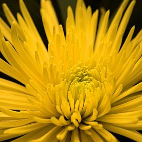 by Thomas Lane - Flowers Single Flower (  )