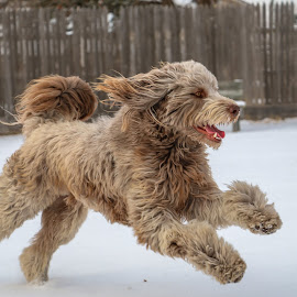 by Kathy Suttles - Animals - Dogs Running (  )