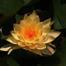 Yellow Water Lily by Rhonda Kay - Flowers Single Flower (  )
