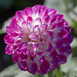 Bright Purple And Whit by Janet Marsh - Flowers Single Flower ( dahlia, purple )
