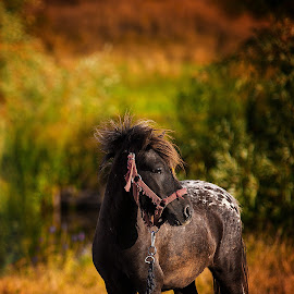 by Ionel Covariuc - Animals Horses ( picture, farm, pony, zoo, horse, domestic, animal )