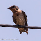 Pacific Swallow