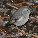 North Island Robin (Toutouwai)