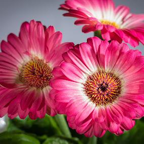 Gerbera Daisy by Paul Cushing - Nature Up Close Flowers - 2011-2013 ( petals, daisy, pink, bloom, gerbera, flower )