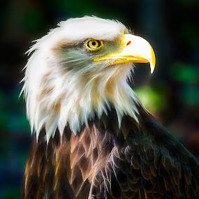 Bald Eagle by Linda Tiepelman - Animals Birds ( bird, eagle, feathered friend, bald eagle, beak, bald, feathers )
