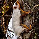 Fox Squirrel (partially leucistic)