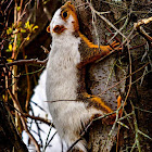 Fox Squirrel (partially leucistic)