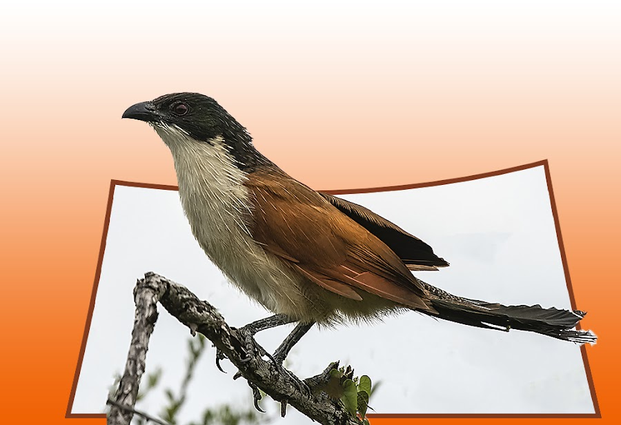 Pop-Up Coucal by Elna Geringer - Digital Art Things
