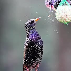 Eh mange pas tout !!! by Gérard CHATENET - Animals Birds