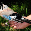 Eurasian Jay; Arrendajo