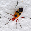 Pale Red Bug