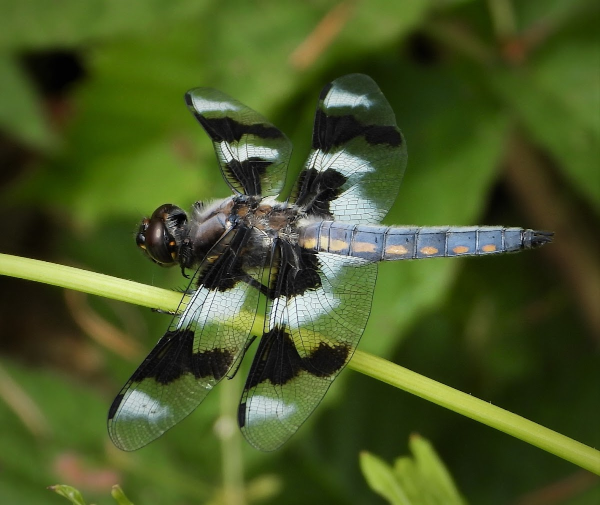 Eight-spotted skimmer (male)
