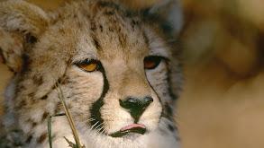 Hot Cheetah thumbnail
