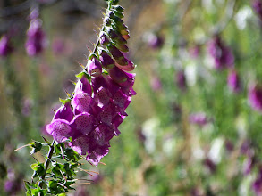 Photo: Digitalis!