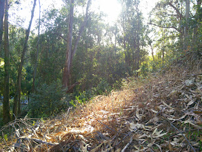 Photo: We don't need to wander far from the parking lot to find unmaintained eucalyptus