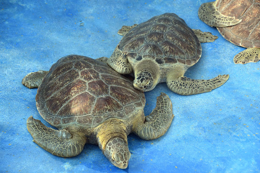 More sea turtles in Manzanillo.jpg - Two large sea turtles rescued at the sanctuary in Manzanillo.