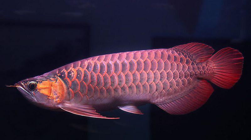 Cá Rồng | Các loại cá rồng đẹp. Cách nuôi cá rồng phong thủy