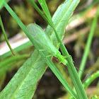 Green Stonefly
