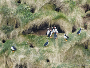 Photo: Puffins, Bullers of Buchan