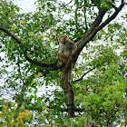 Rhesus macaque 普通獼猴