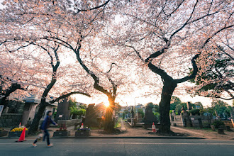 Photo: Sakura Sunburst  Been hard at work recently trying to prep for my first newsletter! I've got a ton of pictures from cherry blossom season to share, and this is a little sneak peak of one I took in the Yanaka Cemetery. I'll also be sharing some free Lightroom presets, as well as a huge discount code for buying prints, so be sure to sign up soon. It'll be out later this week! Here's the link to sign up: http://eepurl.com/baLQNT  #japan #sakura2015 #cooljapan #lightroom #travel