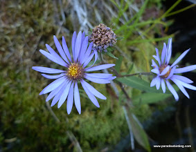 Photo: Asters on the shoreline