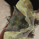 Fruit-Piercing Moth - 2018 Moth Week Rare / Uncommon Contribution