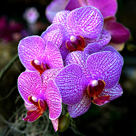 Purple Orchid by Ruth Overmyer - Flowers Single Flower (  )