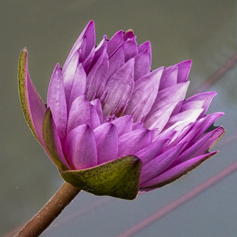 Pink Water Lily 33 by Dee Haun - Flowers Single Flower ( close up, flowers, pink, 180726f3992rc3e3, water lily,  )