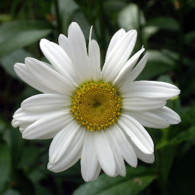 Loves Me Loves Me Not by Ann Marie - Nature Up Close Flowers - 2011-2013 ( daisy, flower,  )