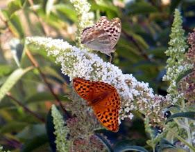 """Photo: Papillons """"Tabacs d'Espagne"""" mâle et femelle forme """"vaselina"""" sur buddleia. Lubéron (04)"""