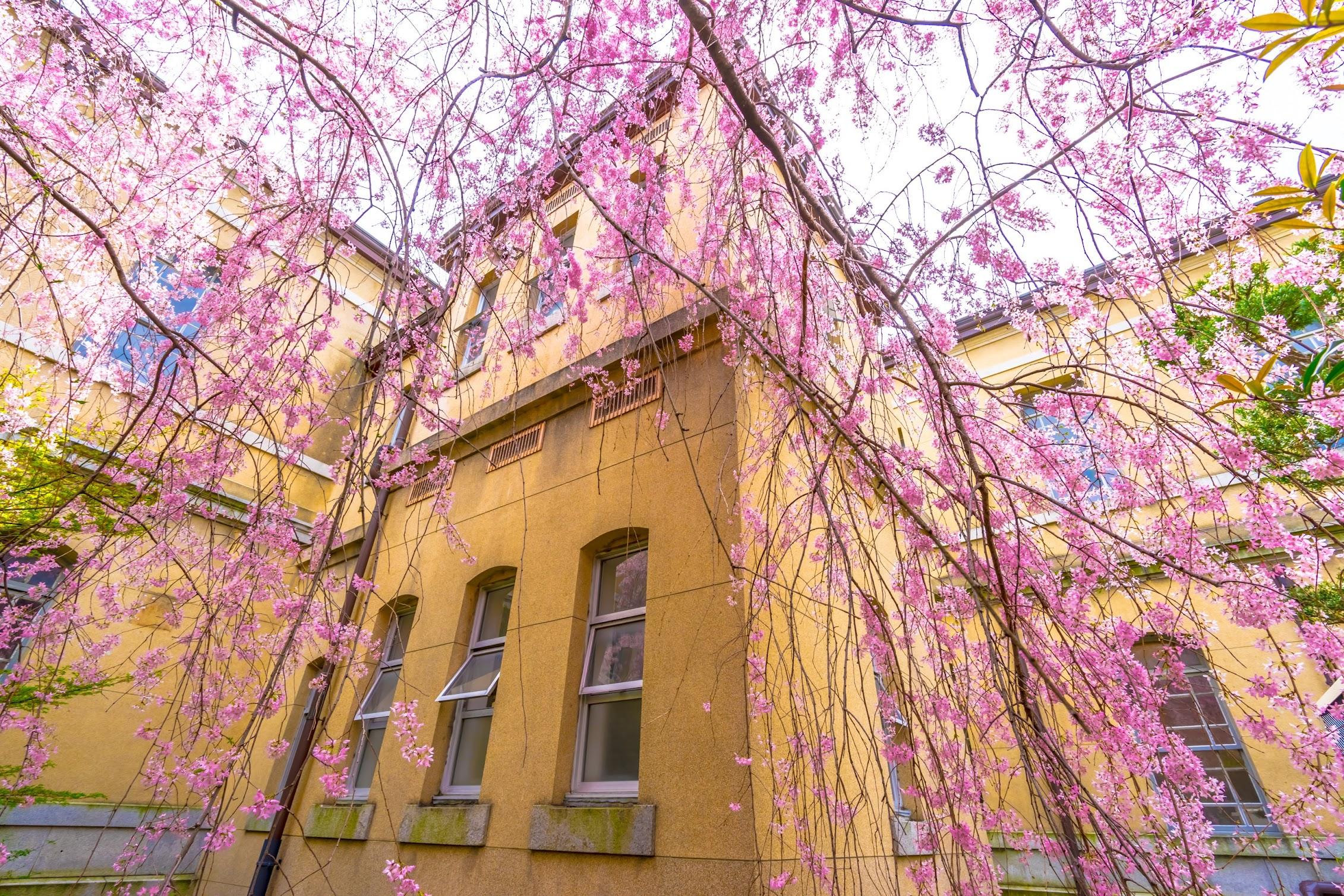 京都府庁旧本館 桜3