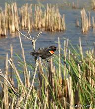 Photo: Red-winged blackbird