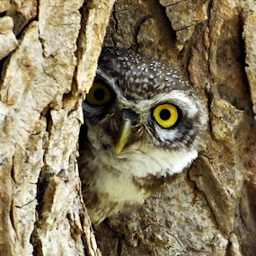 Owl playing Hide and Seek! by Prakash Balge - Animals Birds ( tree, owl, close up, bird photography, portrait,  )