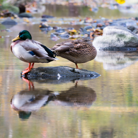 Reflections by Fabrizio Contadini - Animals Birds ( water, bird, animals, autumn, reflections, forest, rocks )