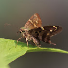 Long Tail Skipper
