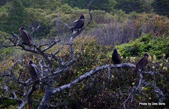 Photo: (Year 2) Day 356 - Turkey Vultures #2
