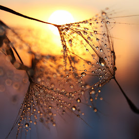 Delicate by Svetlana Micic - Nature Up Close Other plants ( dandelion, sunset, drops, nature up close, sun )
