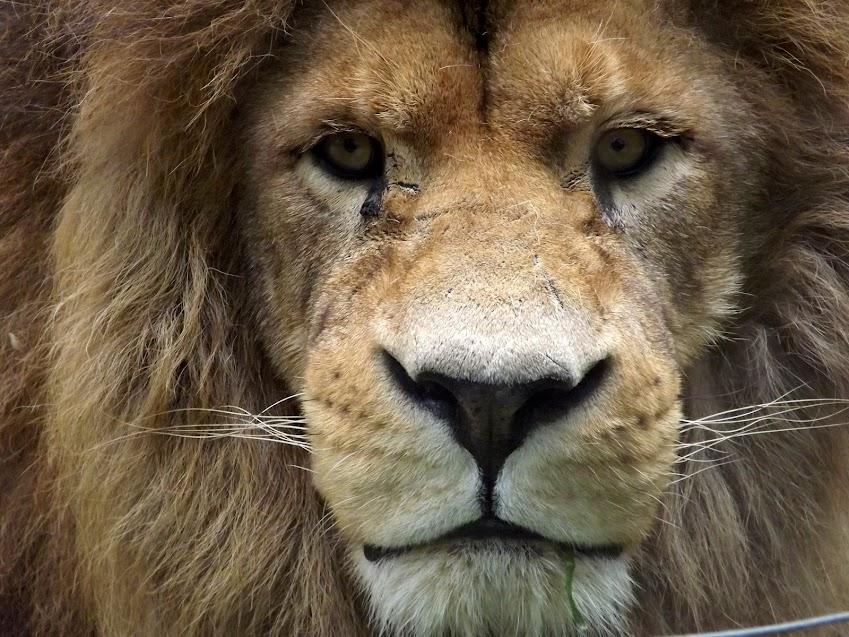 Lion, Jurques - Tous droits réservés