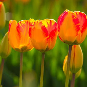 Three tulips.jpg