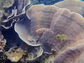 Photo: Cephalopholis cyanostigma (Bluespotted Grouper), Miniloc Island Resort reef, Palawan, Philippines.
