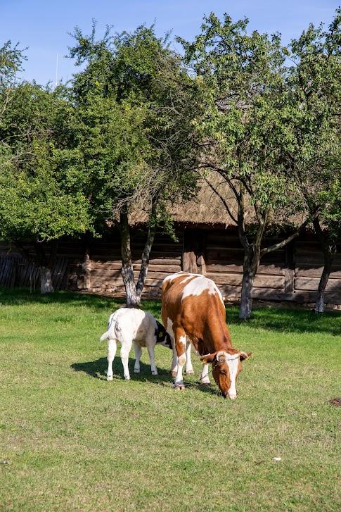 Muzeum Wsi Kieleckiej, krowy